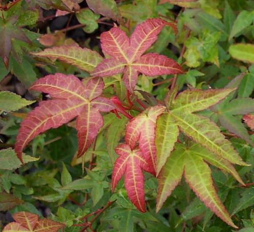 Acer_palmatum_Chishio_April_Maple_Ridge_Nursery.jpg