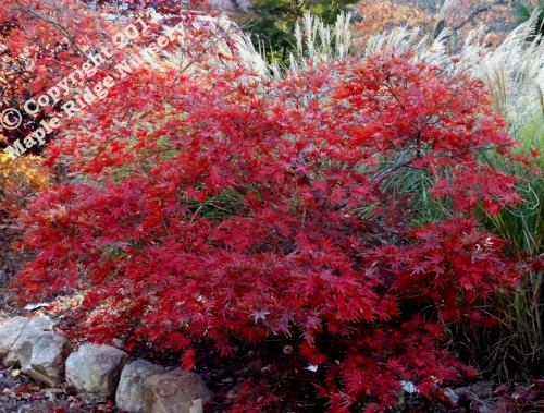 Acer_palmatum_Chitose_yama_Exbury_November_2010_Maple_Ridge_Nursery.jpg