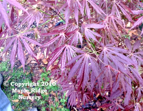 Acer_palmatum_Crimson_Carole_April_2013_Maple_Ridge_Nursery_1.jpg