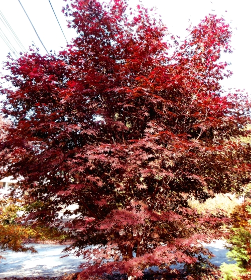 Acer_palmatum_Crimson_Prince_November_2010_Maple_Ridge_Nursery.jpg