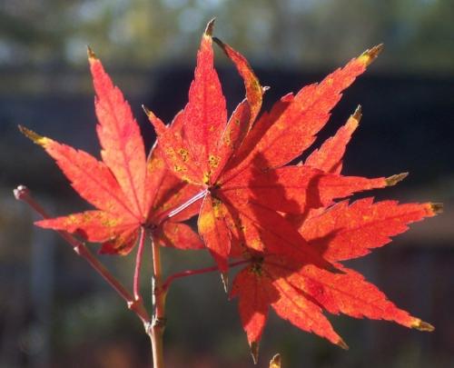 Acer_palmatum_Dixie_Delight_November_Maple_Ridge_Nursery.jpg