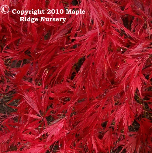 Acer_palmatum_Ever_Red_November_Maple_Ridge_Nursery_2010.jpg