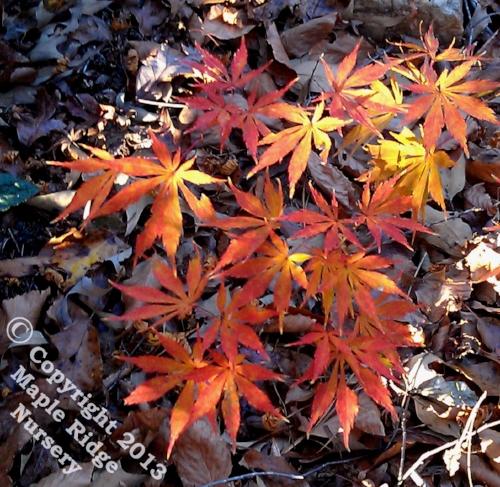 Acer_palmatum_Facination_November_2012_Maple_Ridge_Nursery.jpg
