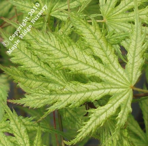 Acer_palmatum_Filigree_April_Maple_Ridge_Nursery.jpg