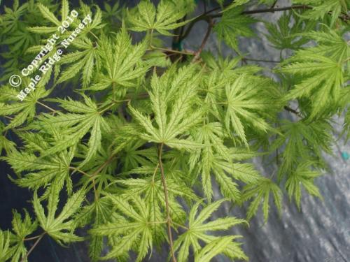 Acer_palmatum_Filigree_April_Maple_Ridge_Nursery_1.jpg