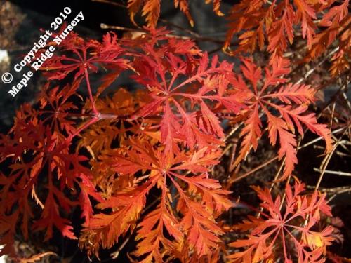 Acer_palmatum_Filigree_November_Maple_Ridge_Nursery.jpg