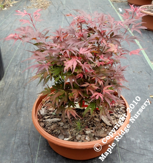 Acer_palmatum_Fireball_April_2012_Maple_Ridge_Nursery_1.jpg