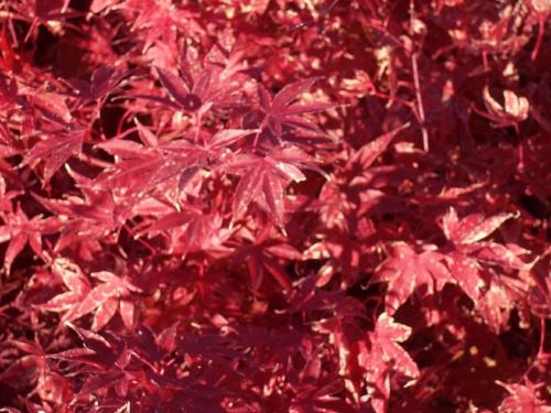 Acer_Palmatum_Fireglow_November_Maple_Ridge_Nursery.jpg