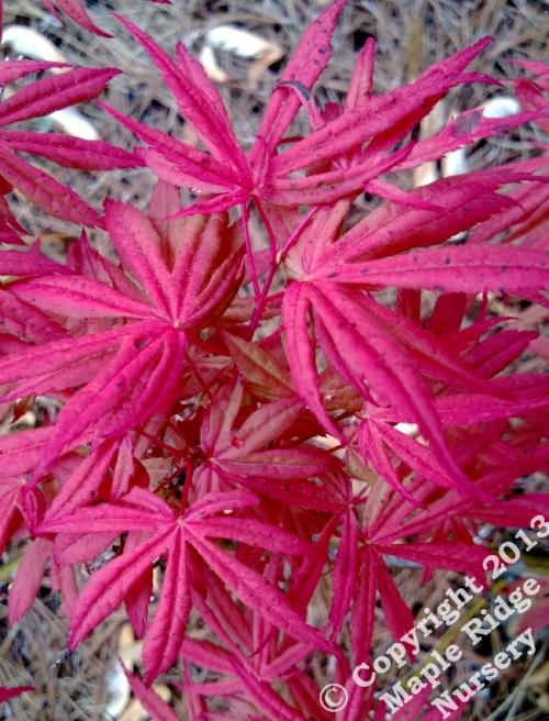 Acer_palmatum_Geisha_May_2013_Maple_Ridge_Nursery.jpg