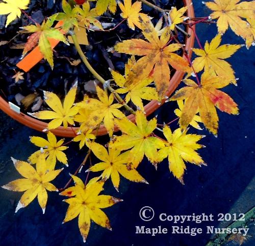 Acer_palmatum_Ghost_Dancer_November_2012_Maple_Ridge_Nursery.jpg