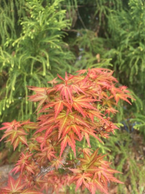 Acer_Palmatum_Goshiki_Kotohime_March_6_2017_Maple_Ridge_Nursery_2.jpg