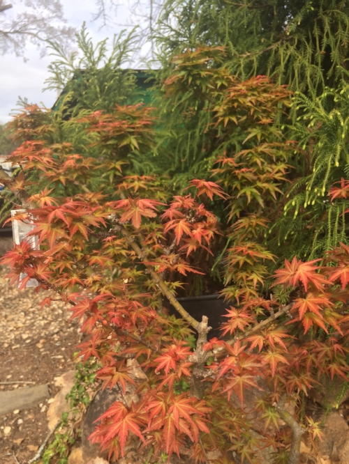 Acer_Palmatum_Goshiki_Kotohime_March_6_2017_Maple_Ridge_Nursery_4.jpg