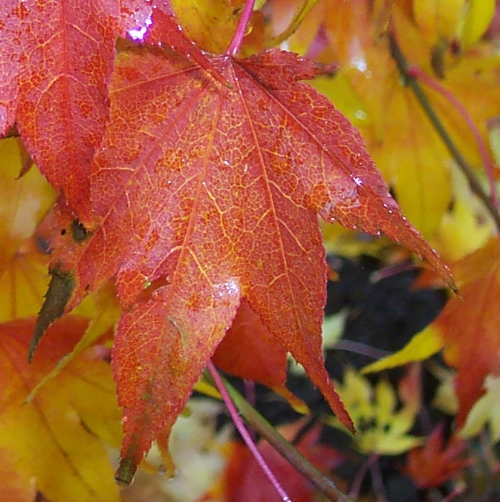 Acer_Palmatum_Hogyoku_November_Maple_Ridge_Nursery.jpg
