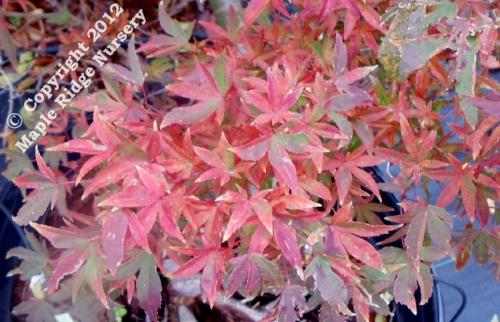 Acer_palmatum_Hoshu_kuzu-November_2012_Maple_Ridge_Nursery.jpg