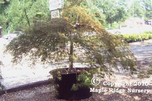 Acer_palmatum_Inabe_Shidare_August_Maple_Ridge_Nursery.jpg