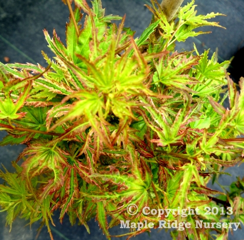 Acer_palmatum_Iro_iro_April_2012_Maple_Ridge_Nursery.jpg