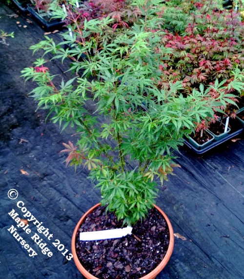 Acer_palmatum_Jere_Shwartz_July_2013_Maple_Ridge_Nursery.jpg