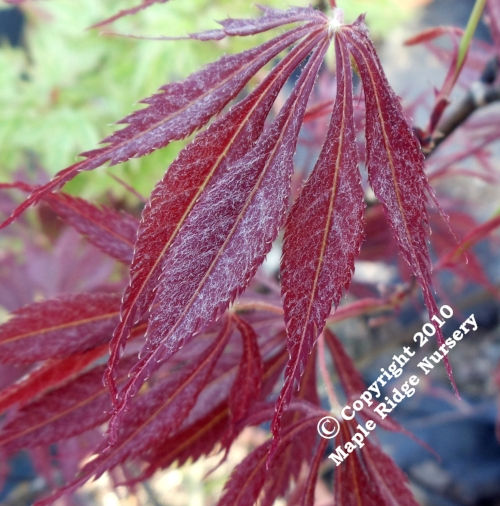 Acer_palmatum_JJ_Fire_Red_April_2011_Maple_Ridge_Nursery.jpg