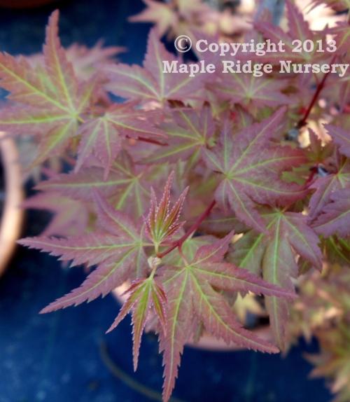 Acer_palmatum_Johnnies_Pink_2011_Maple_Ridge_Nursery.jpg