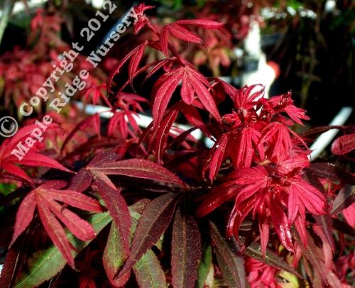 Acer_palmatum_Kandy_Kitchen_May_2009_Maple_Ridge_Nursery.jpg
