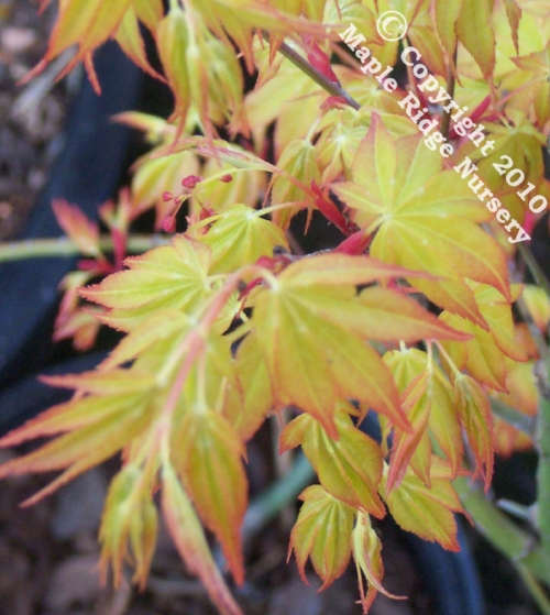 Acer_palmatum_Katsura_April_2009_Maple_Ridge_Nursery.jpg