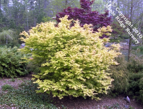 Acer_palmatum_Katsura_April_Maple_Ridge_Nursery.jpg