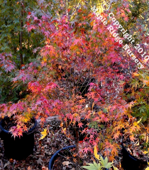 Acer_palmatum_Katsura_November_2012_Maple_Ridge_Nursery.jpg