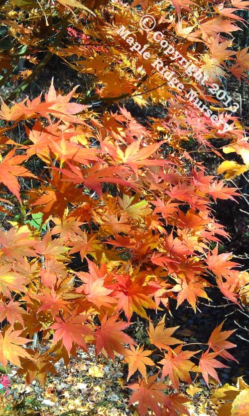 Acer_palmatum_Ki_hachijo_Novrmber_2011_Maple_Ridge_Nursery.jpg