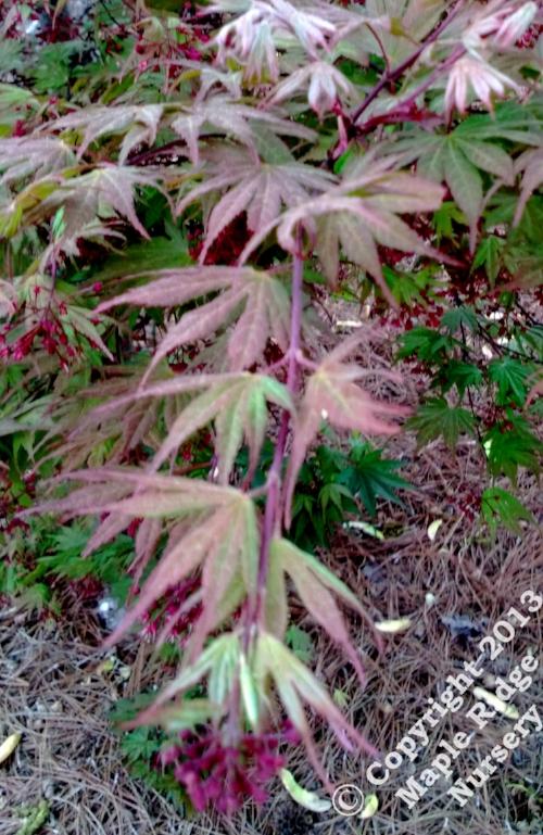 Acer_palmatum_Kinran_April_2013_Maple_Ridge_Nursery.jpg