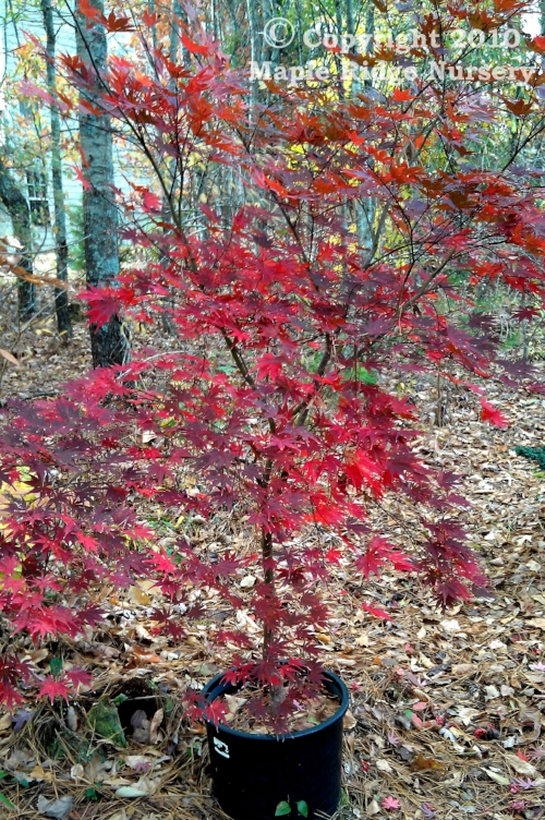 Acer_palmatum_Kinran_November_2012_Maple_Ridge_Nursery.jpg