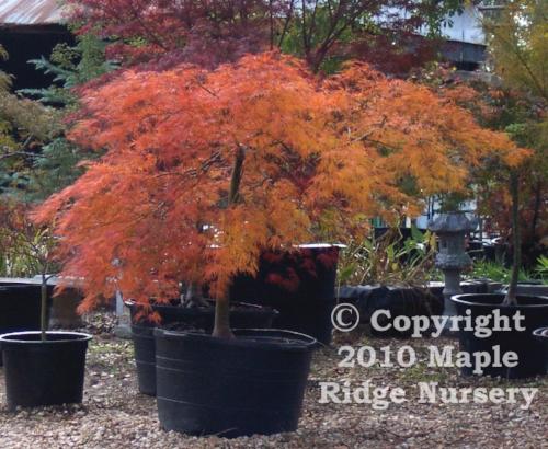 Acer_palmatum_Kiri_nishiki_November_Maple_Ridge_Nursery.jpg