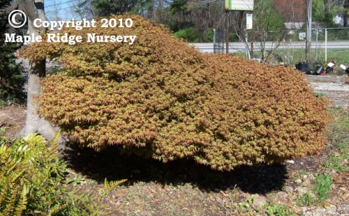 Acer_palmatum_Kiyo_hime_April_Maple_Ridge_Nursery.jpg