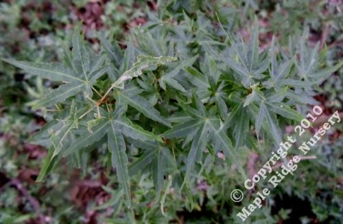 Acer_palmatum_Koto_hime_June_2012_Maple_Ridge_Nursery.jpg