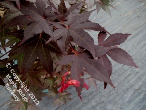 Acer_palmatum_Lozita_April_2012_Maple_Ridge_Nursery.jpg
