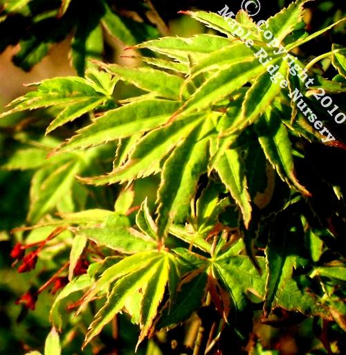 Acer_palmatum_Matsugae_April_2009_Maple_Ridge_Nursery.jpg