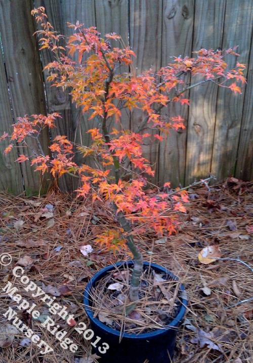 Acer_palmatum_Shishigashira_November_2012_Maple_Ridge_Nursery.jpg
