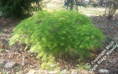 Acer_palmatum_Midori_no_teiboku_April_2009_Maple_Ridge_Nursery.jpg