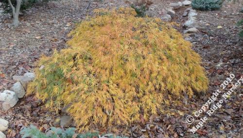 Acer_palmatum_Midori-no-teiboku_November_2010_Maple_Ridge_Nursery.jpg