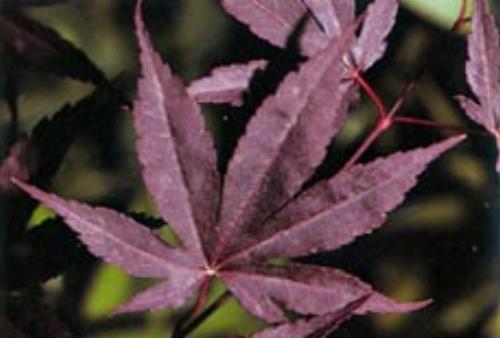Acer_Palmatum_Moonfire_Maple_Ridge_Nursery.jpg