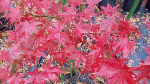 Acer_palmatum_Moonfire_November_2011_Maple_Ridge_Nursery.JPG