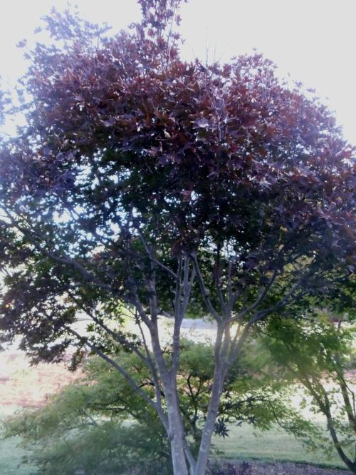 Acer_palmatum_Moonfire_October_2012_Maple_Ridge_Nursery.JPG