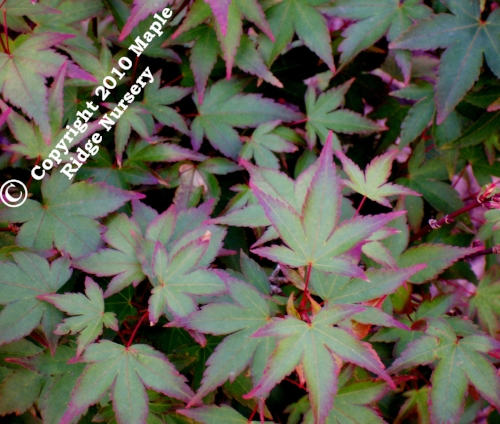 Acer_palmatum_Murasaki_kiyohime_April_2009_Maple_Ridge_Nursery.jpg