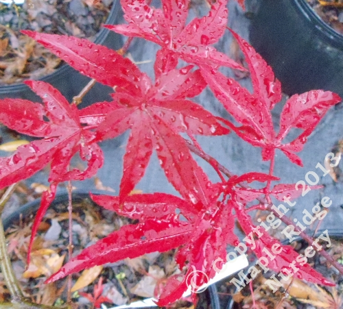 Acer_palmatum_Murogawa_November_2011_Maple_Ridge_Nursery.jpg