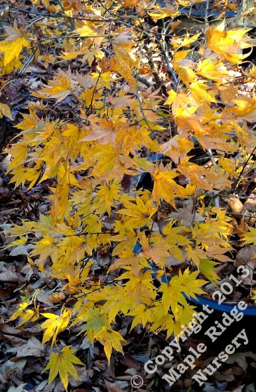 Acer_palmatum_Murogawa_November_2012_Maple_Ridge_Nursery.jpg