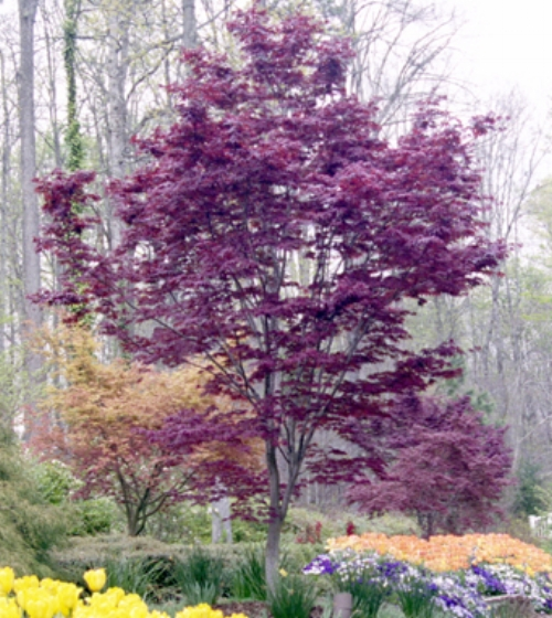 Acer_Palmatum_Nuresagi_April_Maple_Ridge_Nursery.jpg