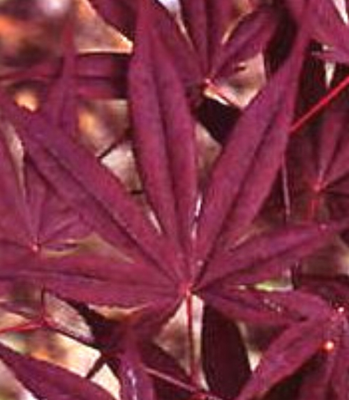Acer_Palmatum_Nuresagi_Maple_Ridge_Nursery.jpg