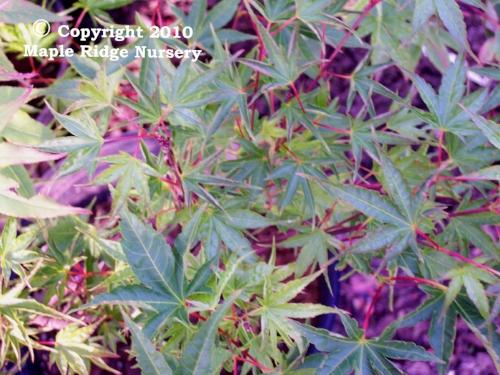 Acer_palmatum_Okushimo_April_2009_Maple_Ridge_Nursery.jpg