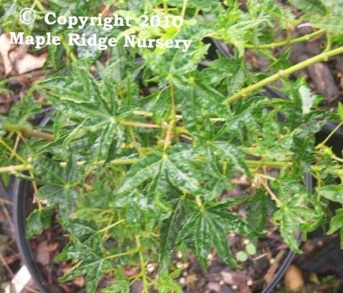 Acer_palmatum_Okushimo_June_2_Maple_Ridge_Nursery.jpg