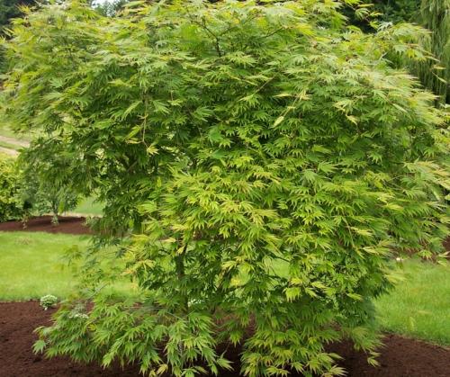 Acer_Palmatum_Omure_Yama_Maple_Ridge_Nursery.jpg