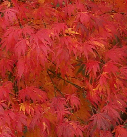 Acer_Palmatum_Omure_Yama_November_Maple_Ridge_Nursery.jpg
